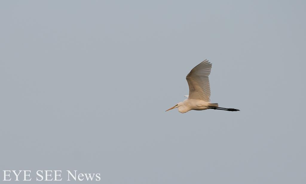 白鷺鷥 圖/Aliav
