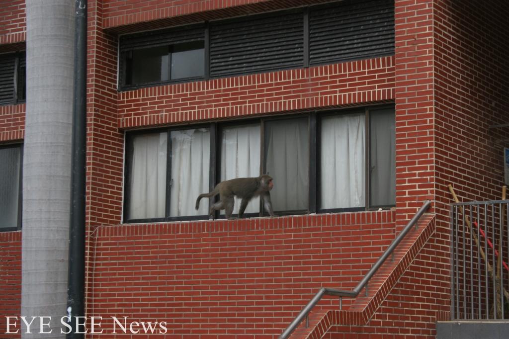 猴子常入侵中山大學宿舍