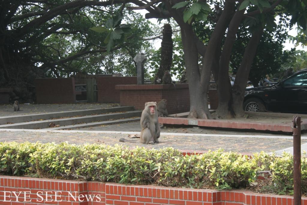 猴群常出沒於宿舍區