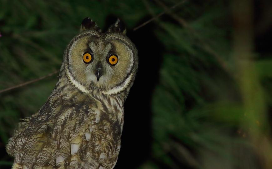 稀有的長耳鴞貓頭鷹。圖/何瑞暘攝