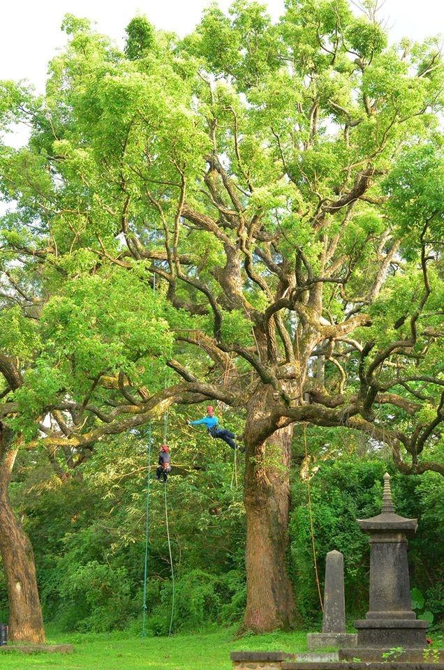 樹,比想像中的還要強壯。 圖/攀樹趣粉絲團