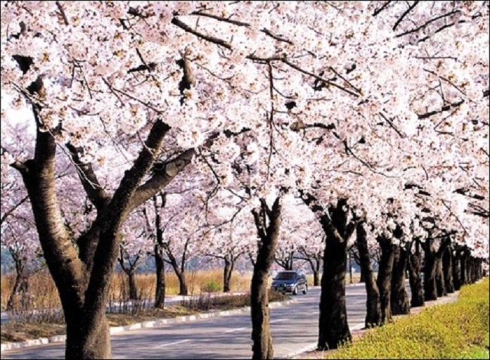 花朵盛開的櫻花步道。圖/網路