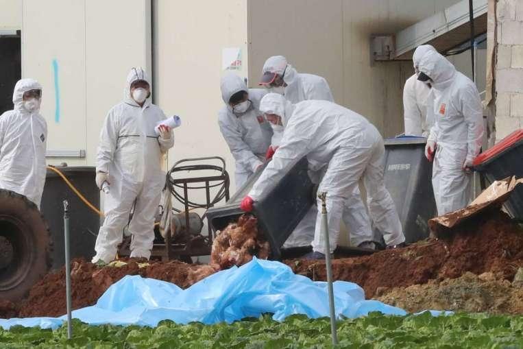 韓國再度傳出禽流感疫情,此次引發的病毒類型初步檢驗為H5N8。圖為去年11月,南韓衛生人員於某雞農場掩埋雞隻的資料畫面,該農場有大量雞隻感染H5N6禽流感病毒。圖片來源/路透社轉自Yonhap